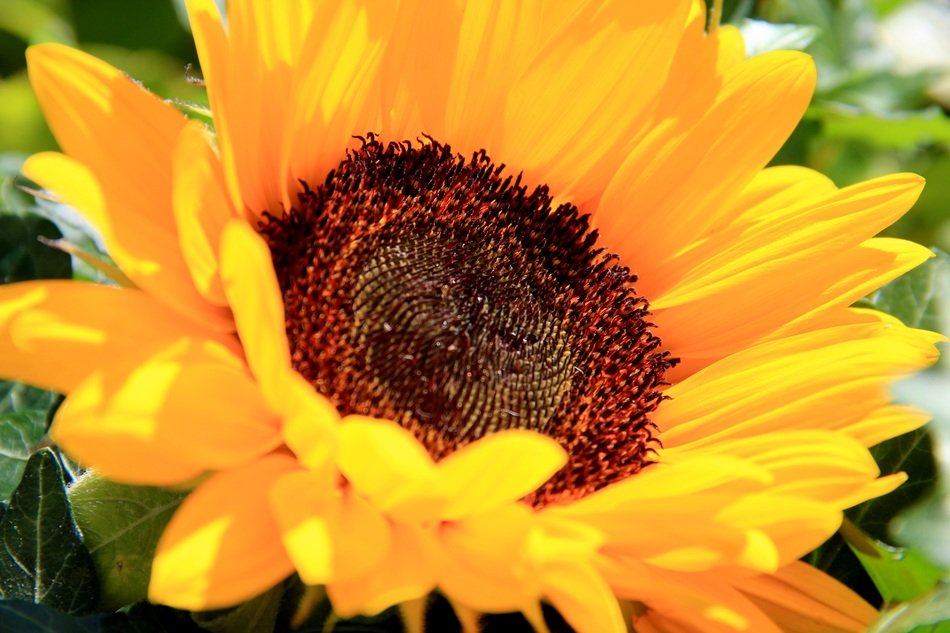 flowering bright yellow sunflower
