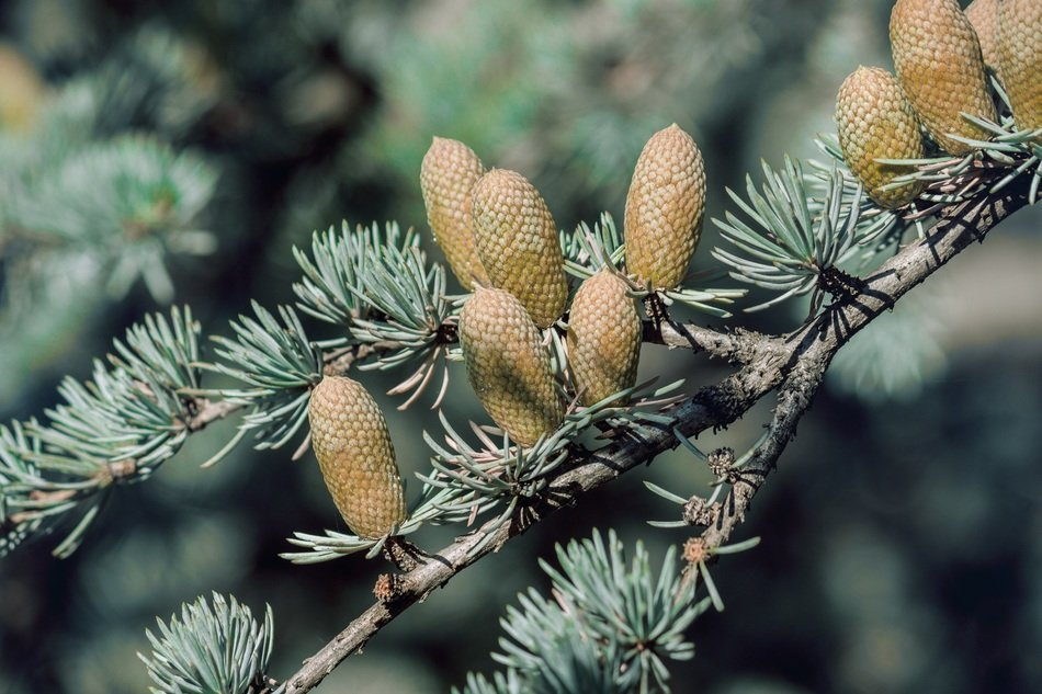 Green cones on the pine branch