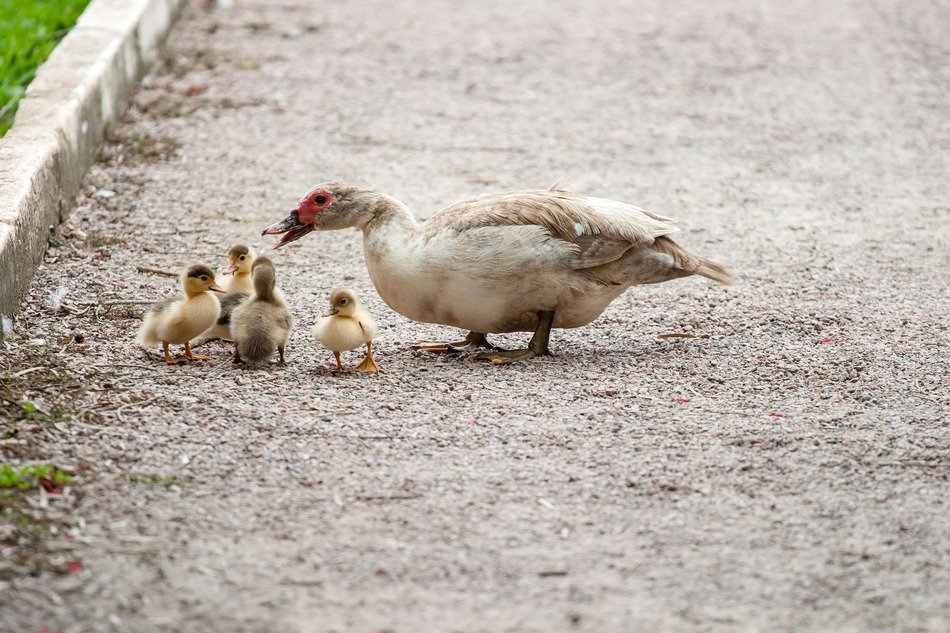 duck with little ducklings on the road in the park