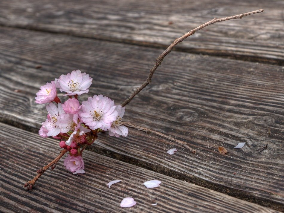 blooming sakura twig on weathered wooden surface