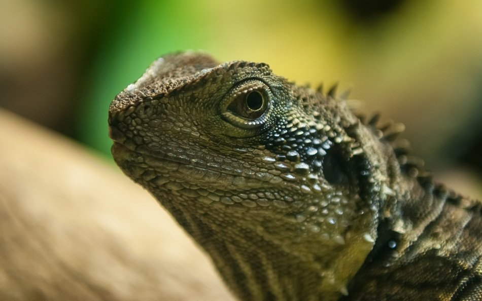 lizard head close up