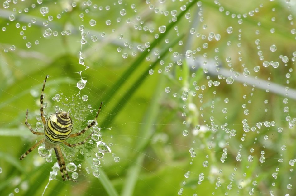 spider on the web and water drops