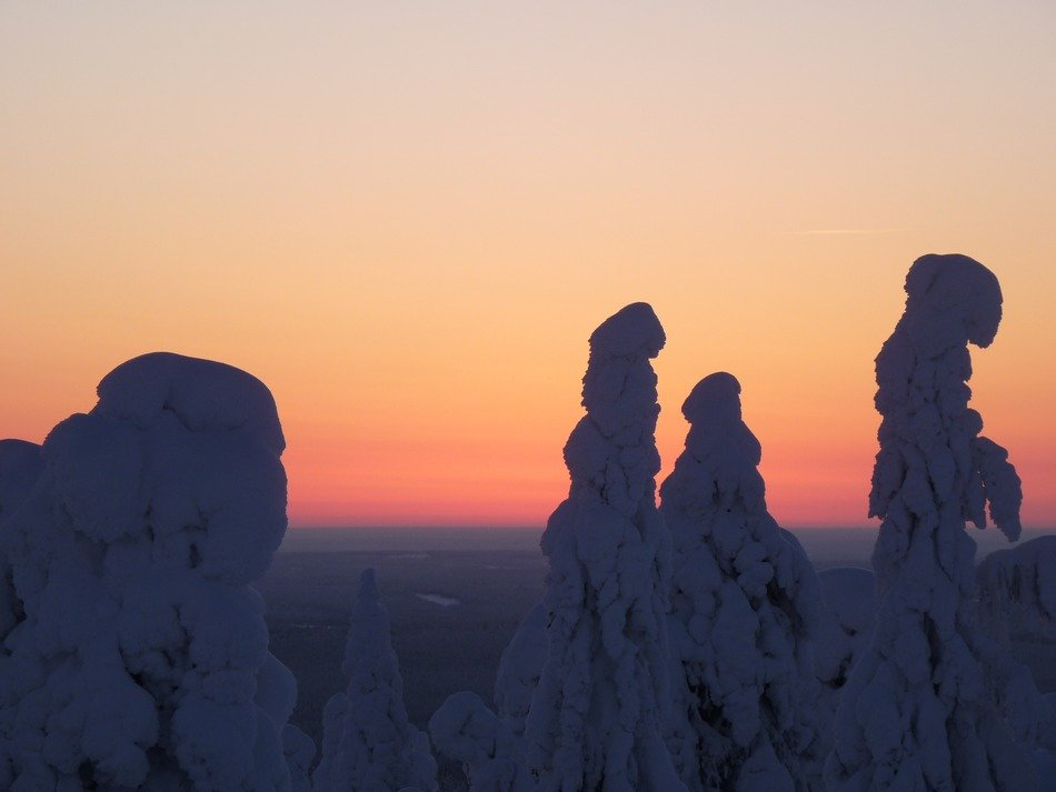 snowy fir tops in finland at dusk