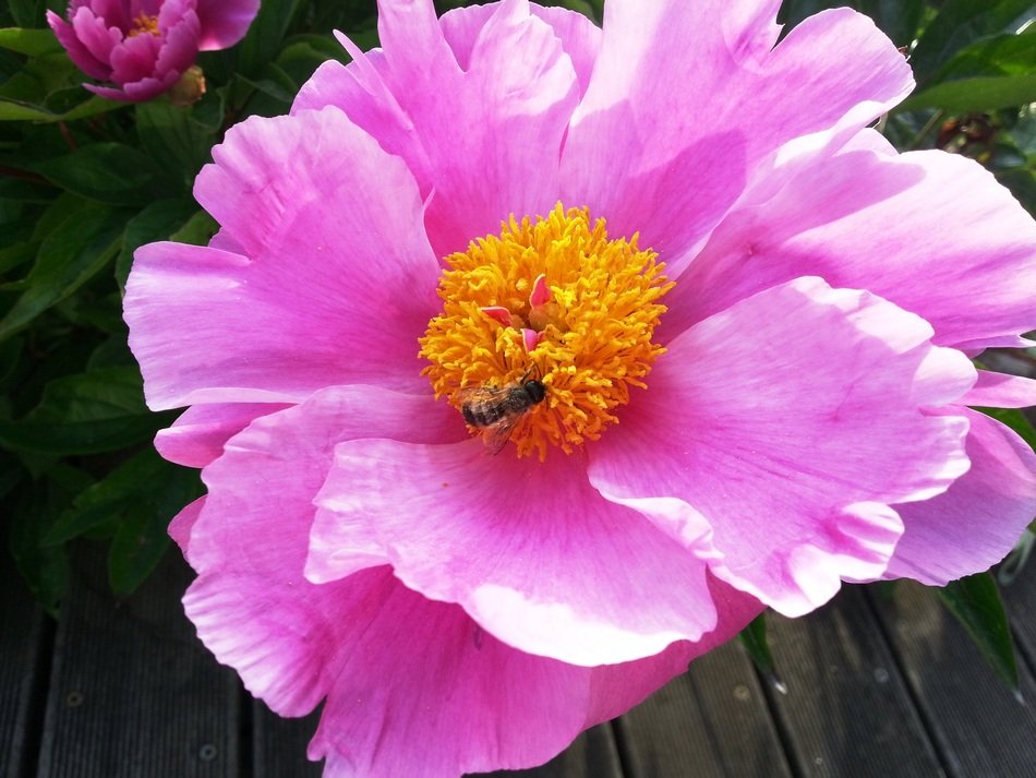 bee on a pink peony with yellow center in the garden