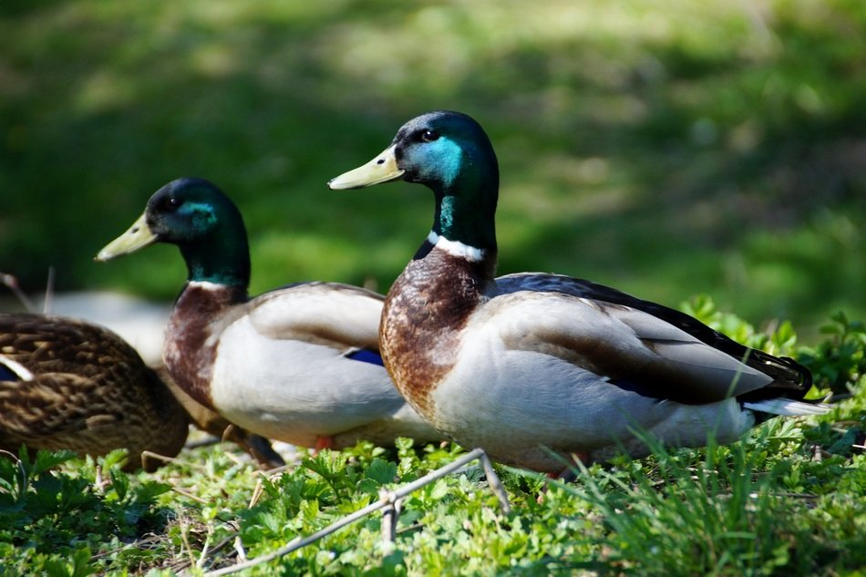 two ducks with green head on green grass