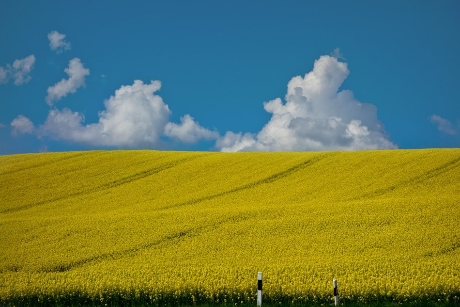 Bright yellow rapeseed field