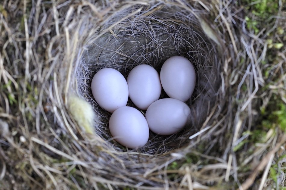 five eggs in the nest
