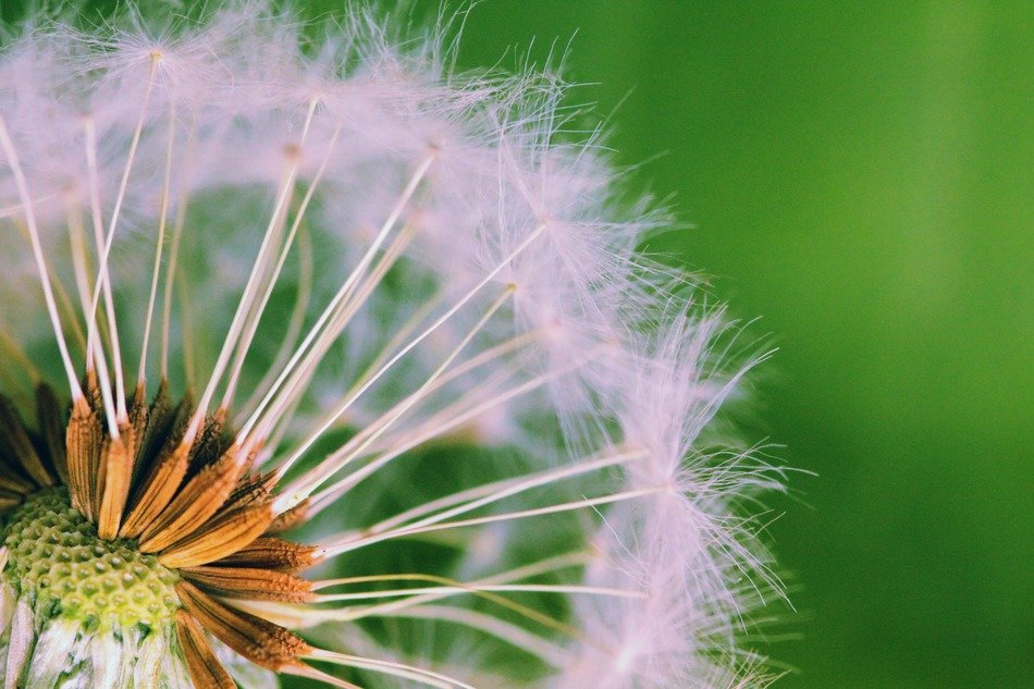 delicate dandelion close-up
