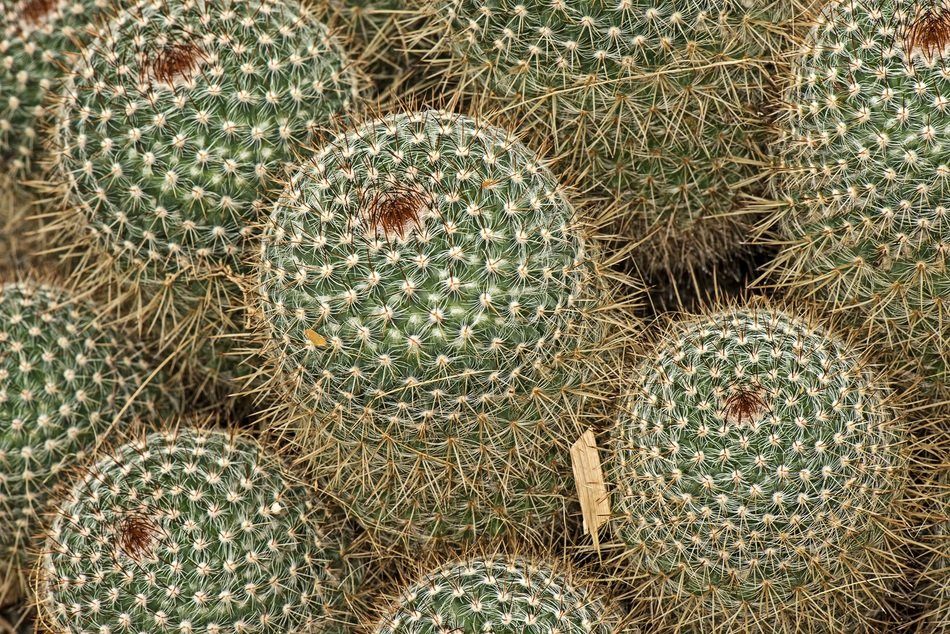 mammilaria spinossisima cactuses in nature