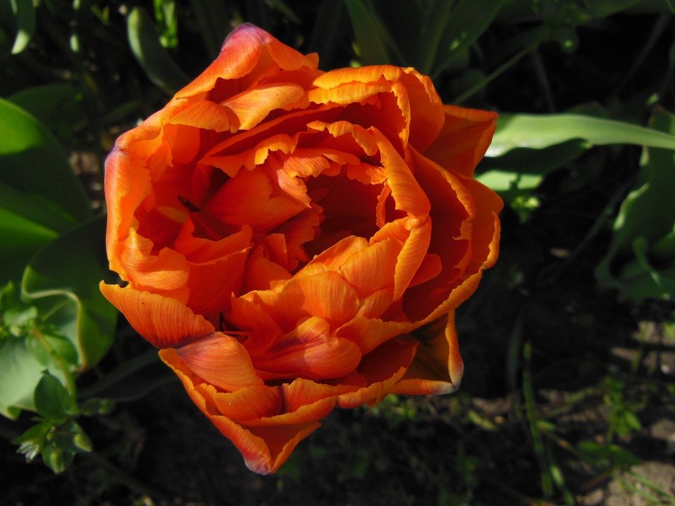 orange double tulip, top view