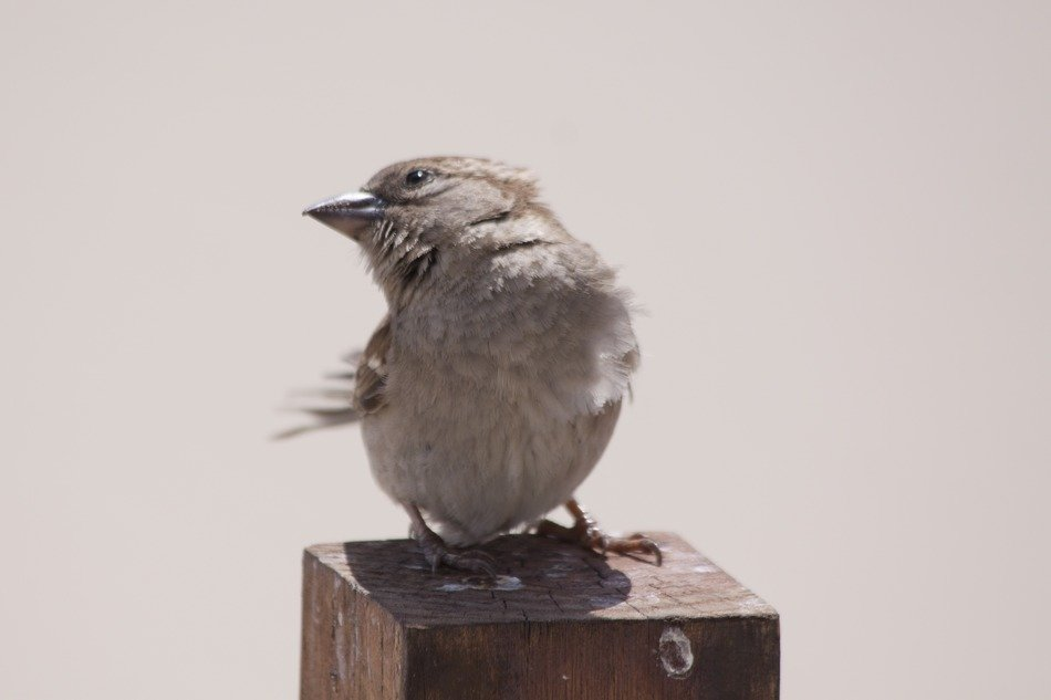 gray sparrow on a wooden post
