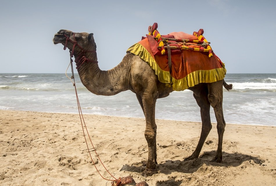 camel on a seashore