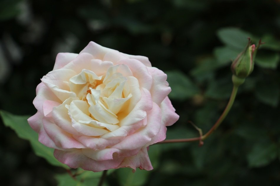 Pink and white rose flower in the garden