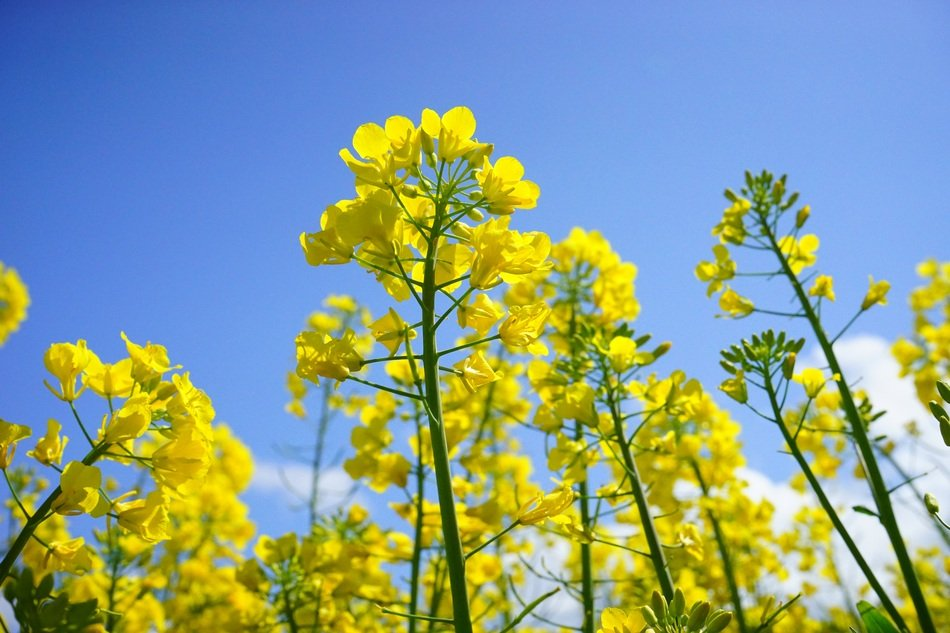 yellow buds of rapeseed