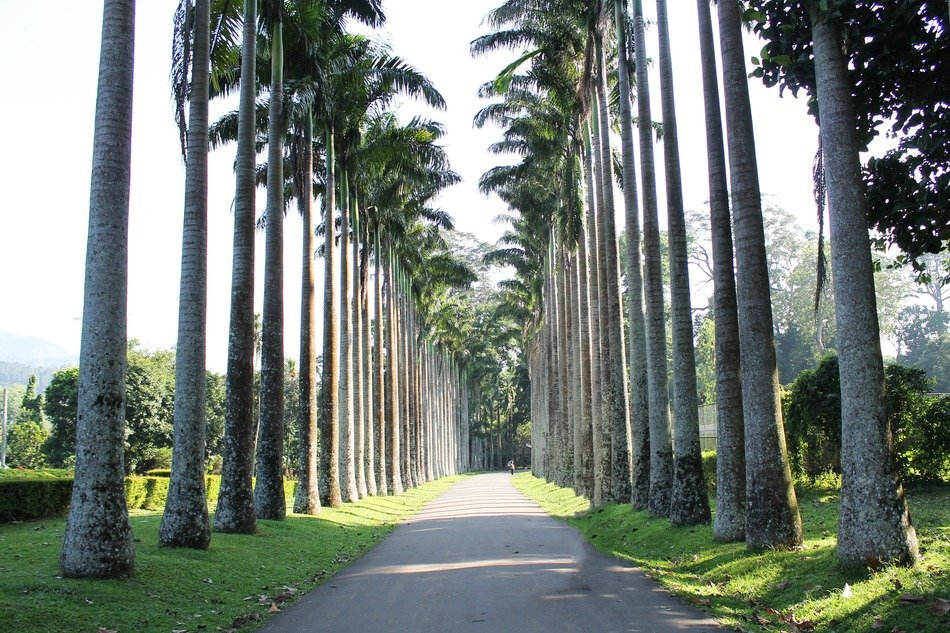 palm alley in the tropics