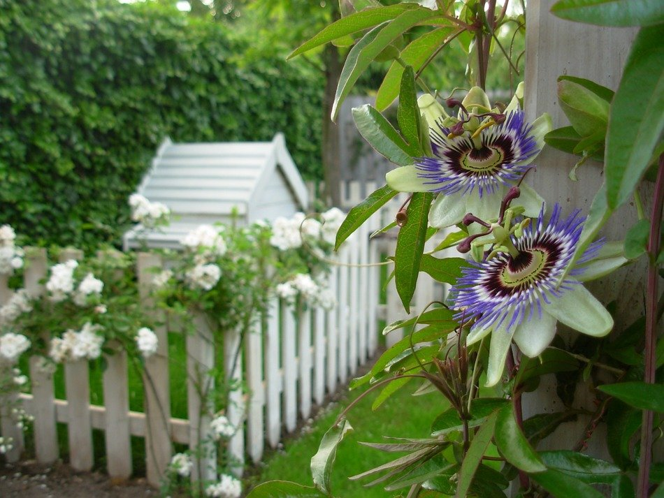 blue passiflora near a white fence in the garden