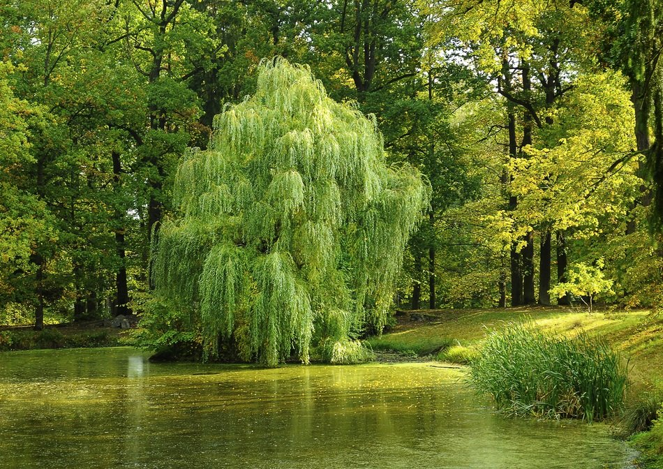 green willow on a pond in South Bohemia