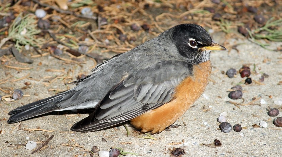 american robin close up