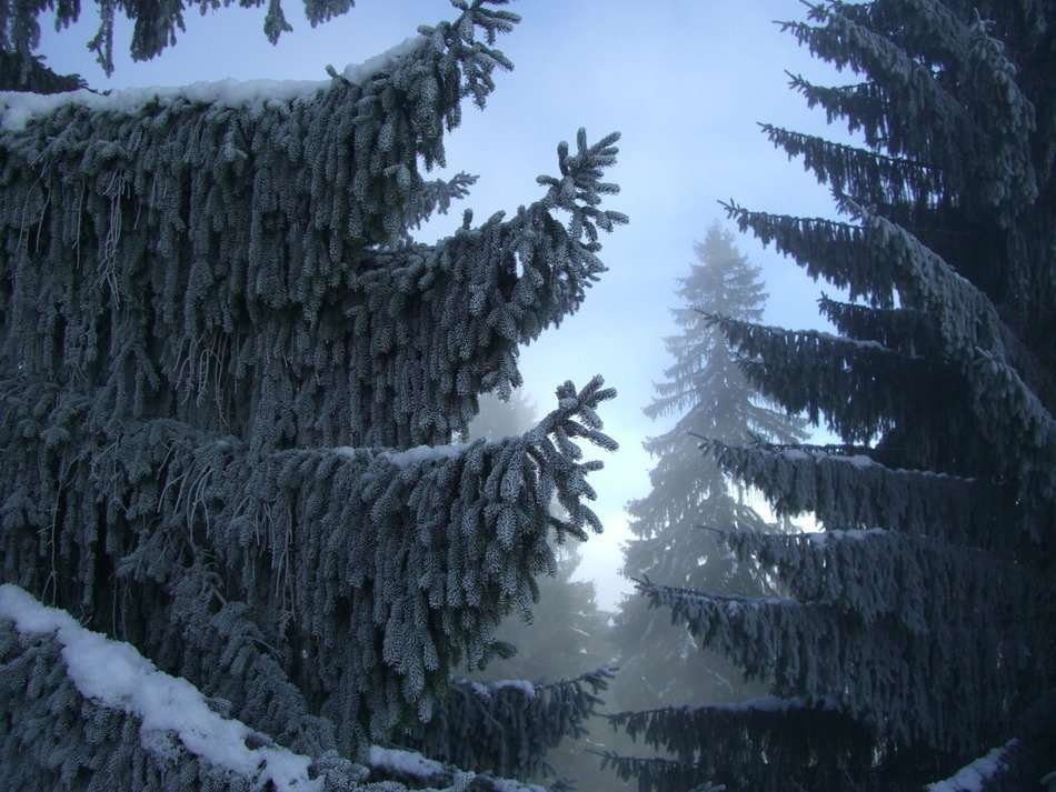 unbelievably beautiful fir winter forest