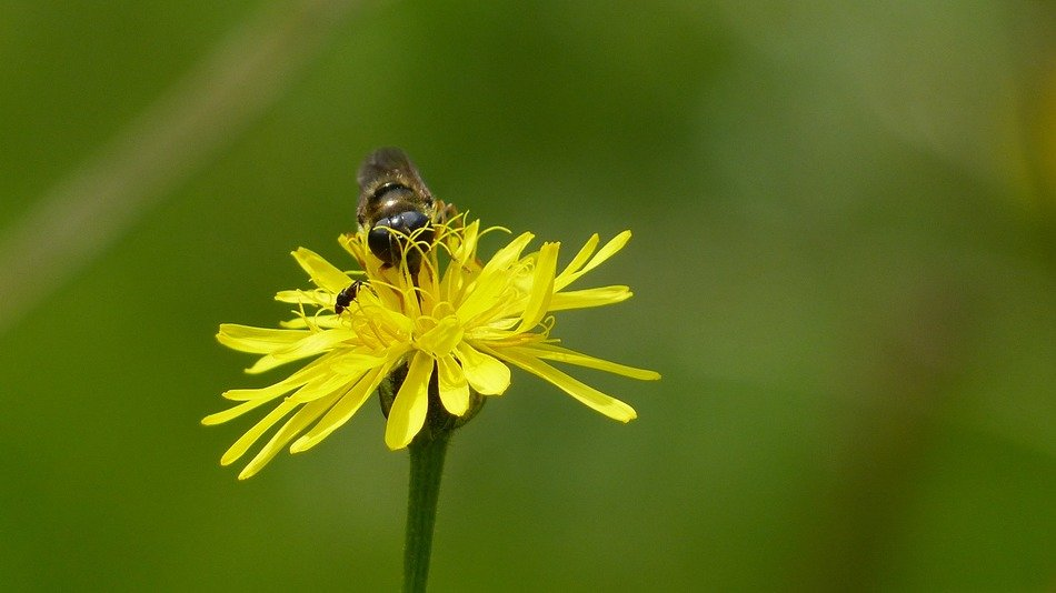 bee pollinating alpine flower