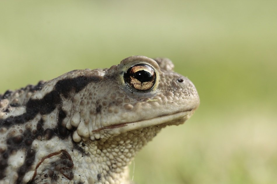 Toad with bulging eyes closeup