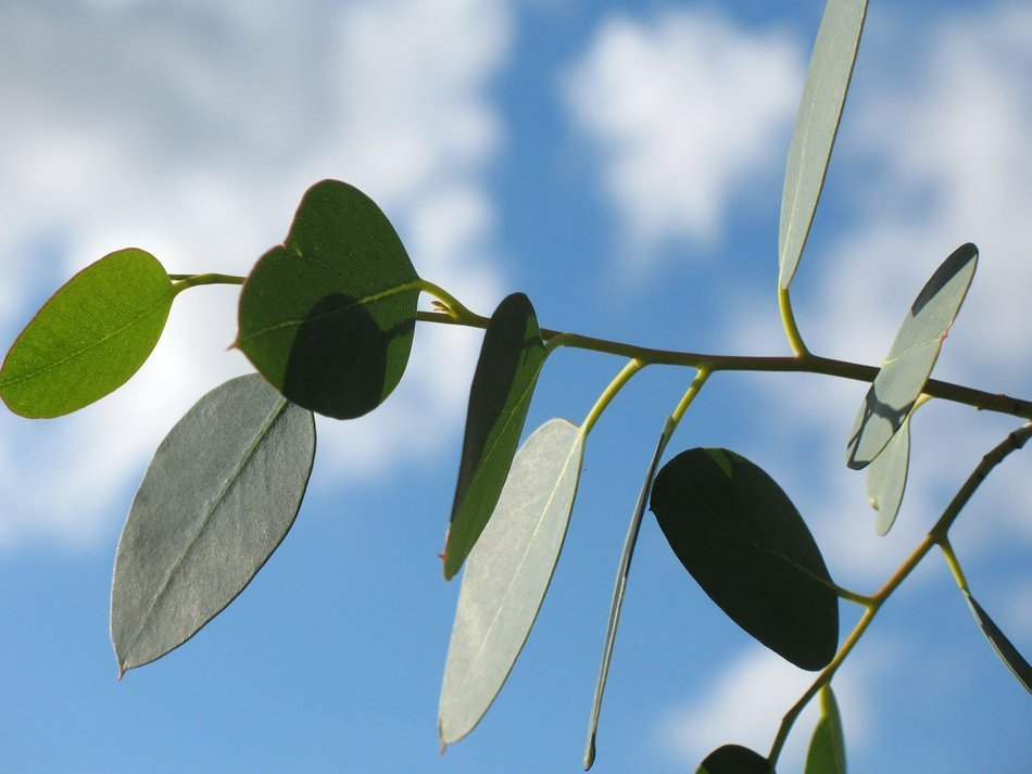 green eucalyptus leaves on branch close-up