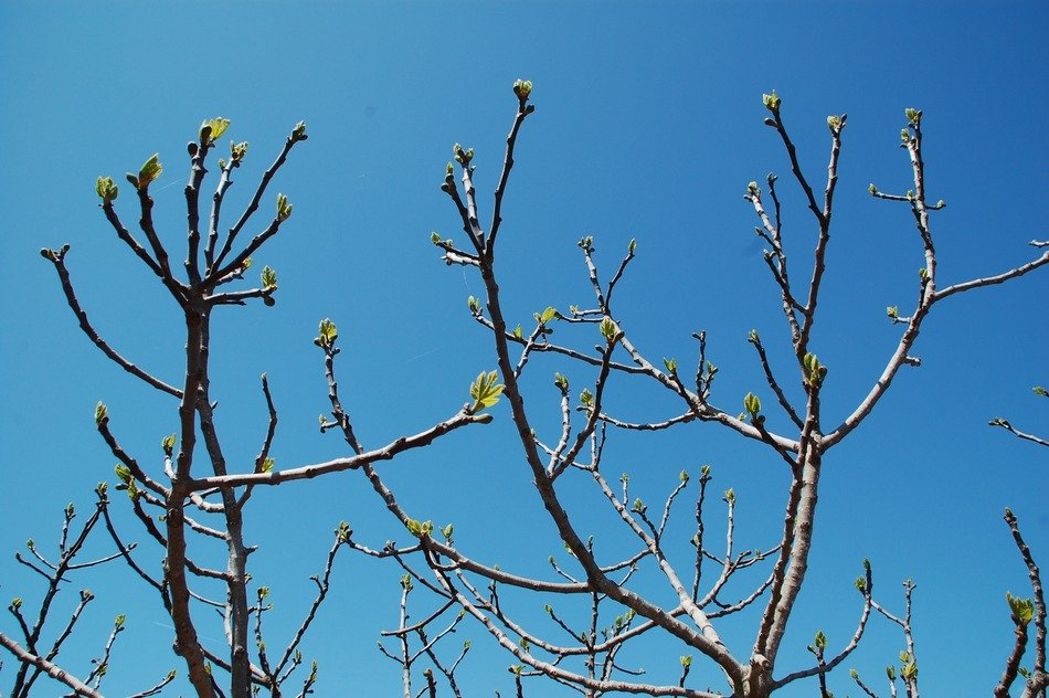 branches with green buds against a bright blue sky