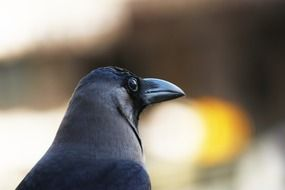grey necked indian crow, head close up