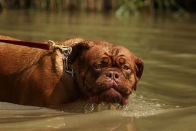 portrait of brown dog is swimming