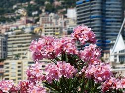 Pink oleander against the backdrop of a cityscape, monaco