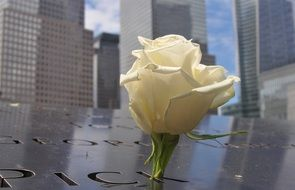 White rose against the background of the world trade center