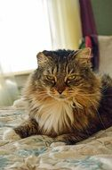 relaxed maine coon cat