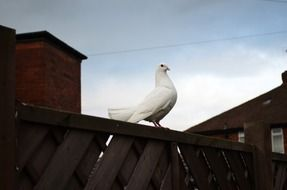 perched white dove