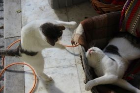 playing domestic cats