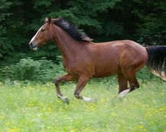 galloping brown horse