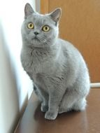 Cute cat breed british shorthair