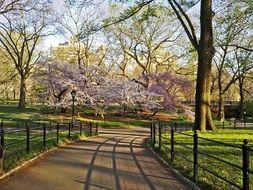 Sakura blooming in Central Park in New York City