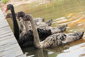 adult and young black swans on water at pier, china, chengdu