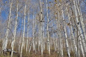 birch grove in autumn against the sky