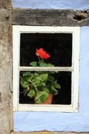 red geranium in a pot on a windowsill on an old window