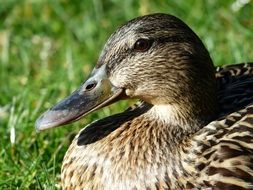 duck bird mallard female anas platyrhynchos