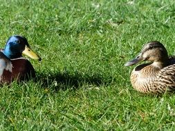 mallard pair duck couple