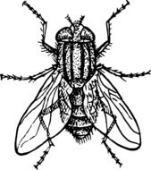 housefly drawing