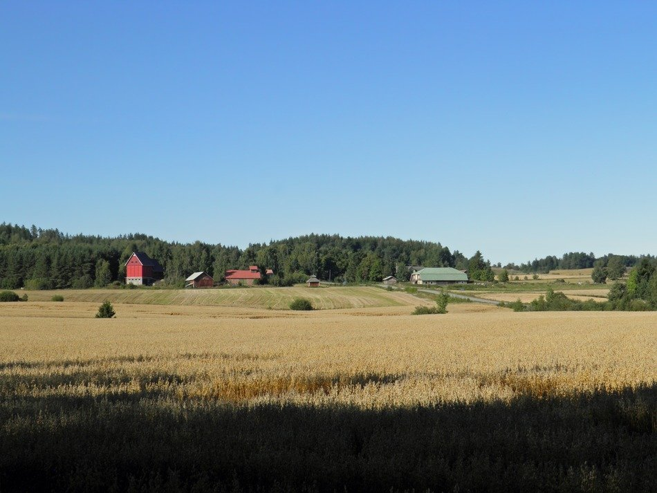 wheat field on a farm in Finland