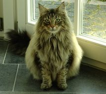 Norwegian Forest Cat near the window