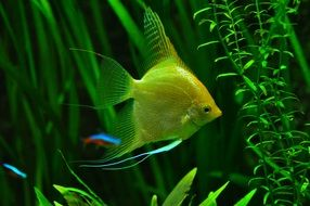 yellow tropical fish in aquarium portrait