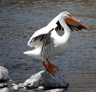pelican stretching wings on stone