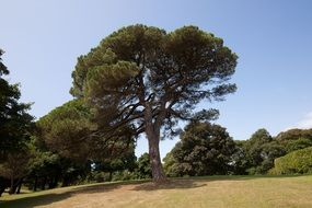 pine tree in a park