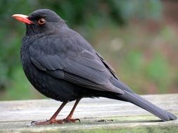 black bird on a wooden bench