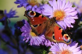 Butterfly peacock on flowers
